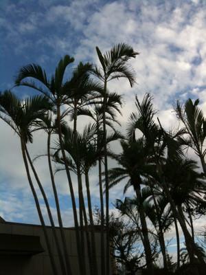 Ana_hotelpalm_tree