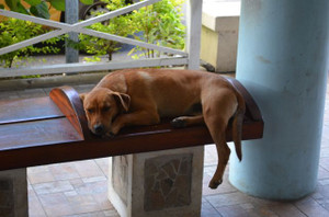Dog_in_moorea